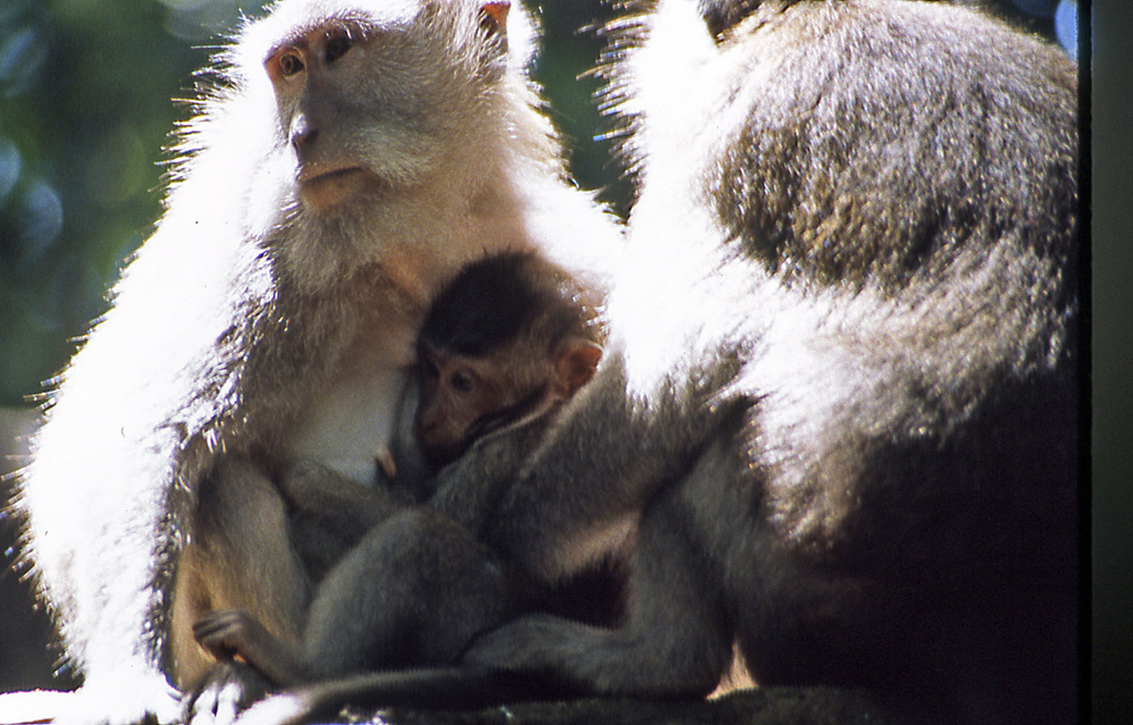 Southeast Asia-Bicycling Bali-see many sacred monkeys