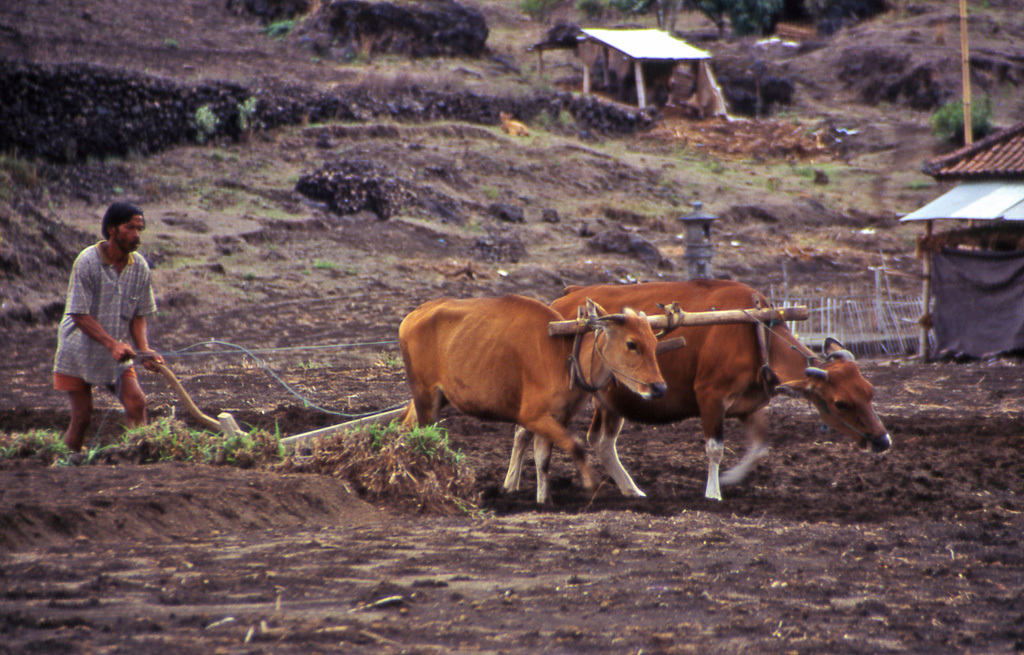 Bicycling Bali-Farmers in Bali use Oxen to plow the fields