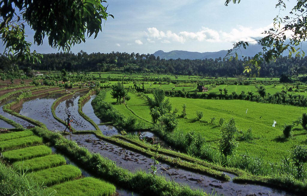 Bicycling Bali-View verdant fields of rice while bicycling Bali