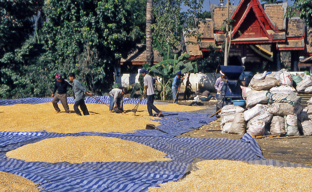 Southeast Asia- Bicycling Thailand Drying rice grains in the sun