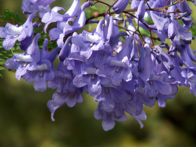Bicycling Southern Australia-Jacaranda blossoms