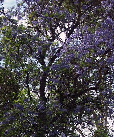 Bicycling Southern Australia-Jacaranda Tree