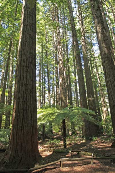 Bicycling North Island New Zealand-Rotorua Redwood forest