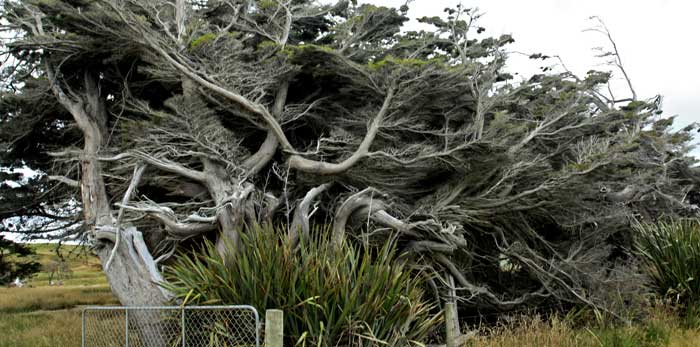 Wind blown trees in southland New Zealand