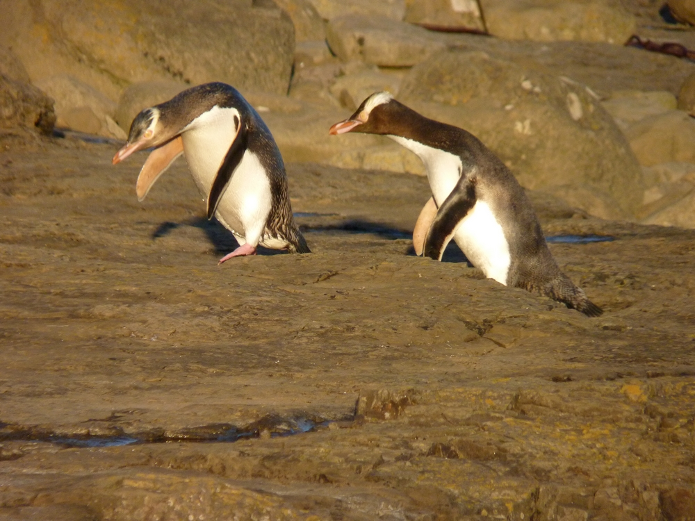 Bicycling South Island New Zealand-Curio Bay Penguins