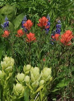 Hiking Adventures-Colorado-paintbrush-wildflowers