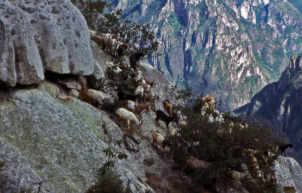 Hiking Copper Canyon-Only the goats were comfortable here